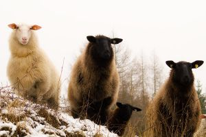 Sheeps Black_and_White by Dunadan-from-Bag-End