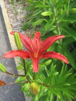 red lilly 02 by CotyStock