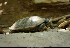 Slider Turtle 02 by KYghost