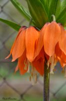 Orange bells by PhotoNovotna