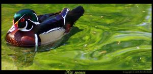 Wood Duck by Nambroth