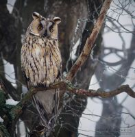 Long-eared Owl by Sergey-Ryzhkov