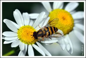 hoverfly 7 by photoflacky