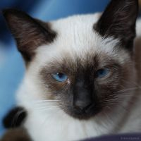 cat with light blue eyes by christinegeier