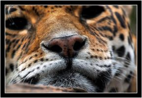 Jaguar nose really close by Dr-Koesters