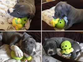 Amstaff puppy with my plush toy by FizziMizzi