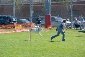 2014 Dog Festival, Agility Contest 24 by Miss-Tbones