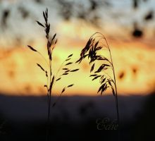 Grasses by 1001G