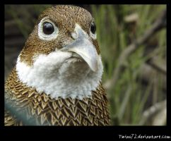 pheasant by Twins72