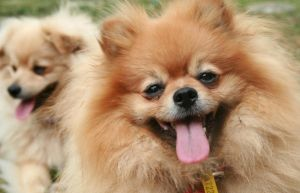 Pomeranians by ClaireVision