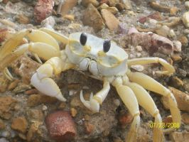 Ghost Crab by Hmlian24