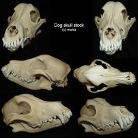dog skull stock by m-u-h-a