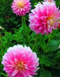 Pink Dahlias by NycterisA