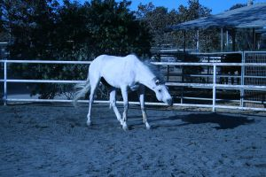 gray horse stock 8 by xbr0kendevotion