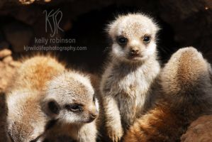 Alert Meercat Pup by Shadow-and-Flame-86
