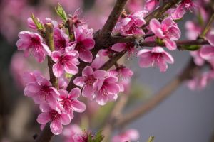 peach blossom by sztewe
