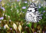 Butterfly_MLK by nurisagaltici