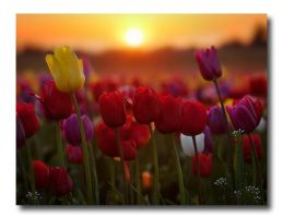 Glowing Tulips by hikester