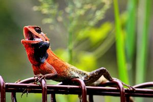 Calotes versicolor by chewygummies