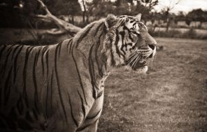 Tigre by tifrize