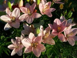 Pink Asiatic Lily 6 by racheltorres921