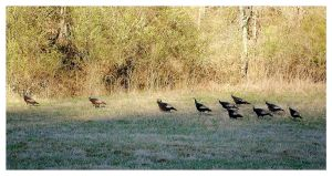 A Rafter Of Wild Turkeys by TheMan268