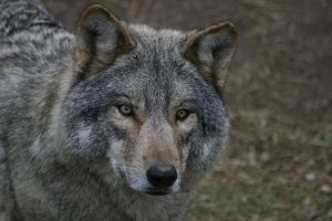 Wolf two colors eyes by Nashoba67
