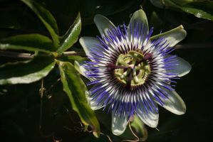 passion flower 2 by ingeline-art