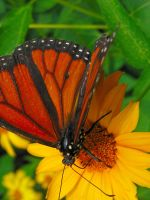 butterfly - 009 - 7-20-11 by joseph-sweet