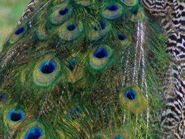 Peacock Feather Stock 1 by Rejects-Stock