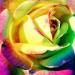 Colourful rose by EliseEnchanted