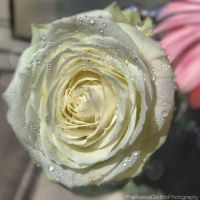 Delicate White Rose by FrancescaDelfino