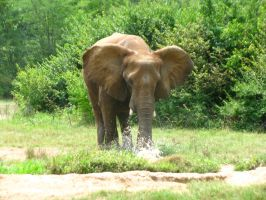 Elephants Nashville Zoo 2012 6 by TheNormal1