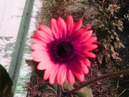 Pink Sunflower by artchick8916