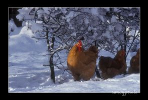 Red hens by sandyprints