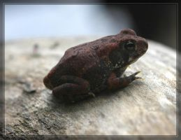 Fowler's Toad 40D0012258 by Cristian-M