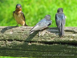 barn swallows by Kimi-Parks