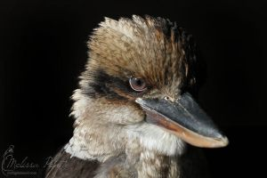 Kookaburra by mydigitalmind