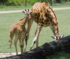 Mother and Calf 01 by Indefinitefotography