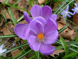 Purple Crocus by Mishall