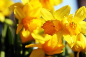 -Narcissus pseudonarcissus- 2 by Noeth