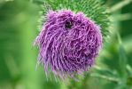 Thistle Up Close by PhotoWriter87