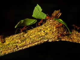 Leaf Cutter Ants 01 - June 12 by mszafran