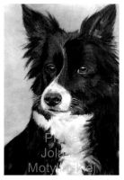 The Border Collie Sheepdog by jolabrodnica
