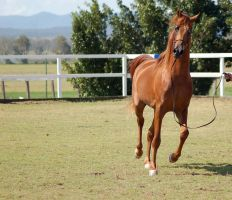 GE Arab chestnut trot front on by Chunga-Stock