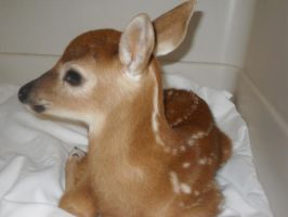 baby deer 1 by blaike38