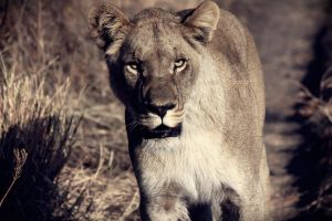 Lion by Titou963