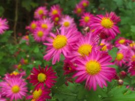 Chrysanthemum I by larksgar