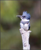 Belted Kingfisher by kootenayphotos