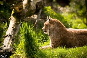 Lynx relaxing by Mob1